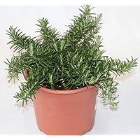 Romero rastrero (Maceta 19 cm Ø) - Planta viva - Planta aromatica