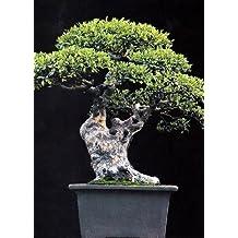 Fiori freschi e piante da appartamento - Cura dei bonsai in casa ...