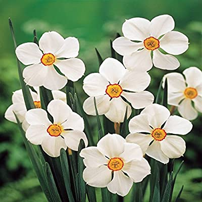 Dichternarzisse Actaea von Meingartenshop - Du und dein Garten