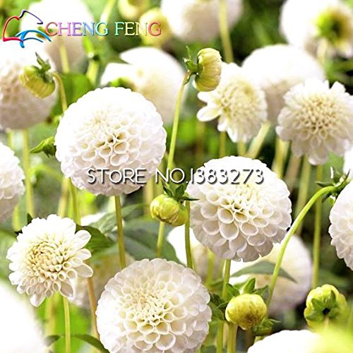 100 Pcs Graines de type ordinal japonais Dahlia Bulbes Graines Bonsai Fleurs Plant Jardin Belle vivace Fleur Bonsai Cheap Pot