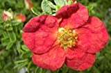 Potentilla fruticosa Red Ace - Fingerstrauch Red Ace- Fünffingerstrauch -