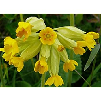 Cowslip  500  Seed British Wild Flower  Primula veris