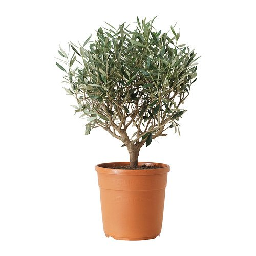 ikea-olea-europaea-plante-en-pot-olive-olivier