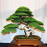 WuWxiuzhzhuo Big Förderung 20Stück Japanische Weiß Pinus parviflora Grün Pflanzen Mini-Baum Bonsai Samen 1