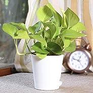 Ugaoo Golden Money Plant Indoor with Self Watering Pot