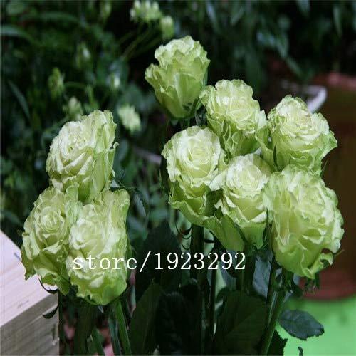 AGROBITS 100 semi Zampa polvere della Rosa cespuglio di fiori, rara varietà Red & amp; White Rose, fragrante: Giallo