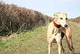 'Modern Weich Whippet Rustic Brown aus Leder und Wildleder Gepolsterte Halsbänder –, die Greyhound, Whippet, Lurcher, italienischer Greyhound Saluki Hunde sighthound