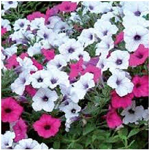 Lot de 20 graines Petunia à fleurs pendants F1 Tidal Wave Silver Cherry - annuelle