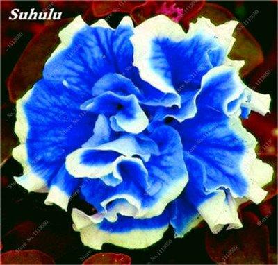 100 pcs / sac pétales de double Petunia Graines Bonsai Graines de fleurs Court Taille Jardin Fleurs Graines Pot intérieur ou Ourdoor usine 13