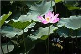 Posterlounge Leinwandbild 180 x 120 cm: Blühende Lotusblume im Sommer von Editors Choice - fertiges Wandbild, Bild auf Keilrahmen, Fertigbild auf Echter Leinwand, Leinwanddruck