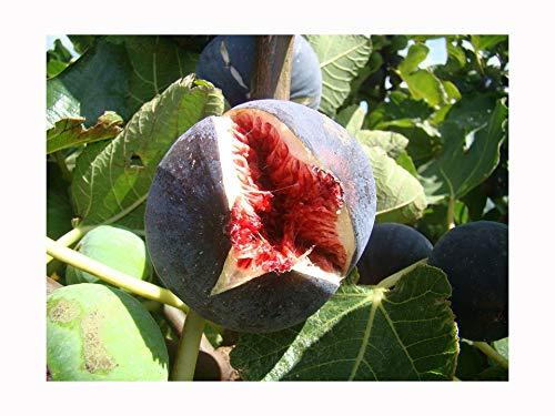Feige Ficus carica 'Babits' rotbraun fruited Sorte, sehr kalte tolerant, architektonische Pflanze und leckere Früchte, Grow Your Own Feige Mediterraner–15cm hoch, Fresh Pflanze