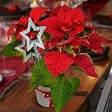 Weihnachtsstern Rot mit Keramiktopf - 1 set