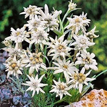 100 + Seeds Edelweiss Blumensamen (Leontopodium Alpinum) -