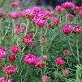 Herbstaster ( Aster novae-angliae ' Alma Pötschke ' ) von Lichtnelke Pflanzenversand bei Du und dein Garten