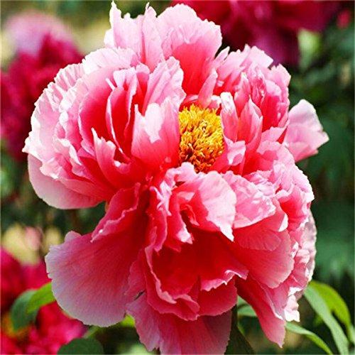 5 pièces / sac graines de pivoine, jaune, graines de fleurs de pivoine rose chinoise belles graines de bonsaï plantes en pot pour le jardin de la maison 3