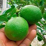 Qulista Samenhaus - 10pcs Rarität Grüne Limette | Citruspflanzen exotisch Obstbaum Obstsamen Baumsamen Winterhart mehrjährig Balkonpflanzen