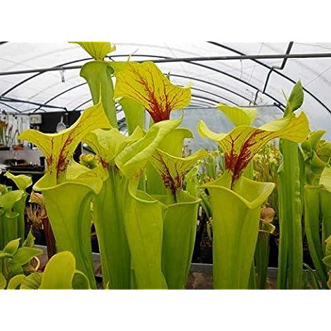 Sarracenia flava var flava - Sarracena, Planta de jarra Norteamericana, Plantas trompeta, Cuerno de caza - 5