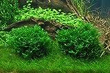 Tropica Aquarium Pflanze Moos Monosolenium tenerum Nr.002C TC in Vitro 1-2 Grow Wasserpflanzen Aquarium Aquariumpflanzen