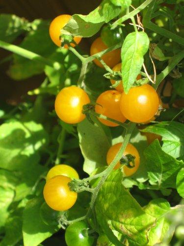 Premier Seeds Direct D7-5Z4C-HEVO - Semillas para verduras 64a0cce33d1