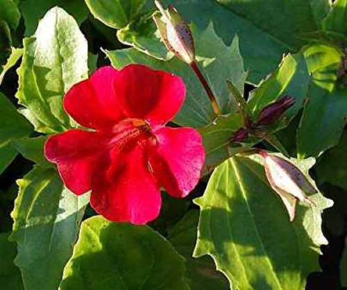 Gauklerblume Farbe