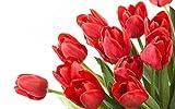 Futaba Red Tulip Seeds - 10 Pcs