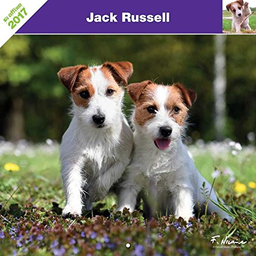 jack-russell-terrier-2017-calendrier-affixe