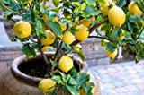 Lemonade aus italienischer vr - Zitrone 5 frische Samen ...