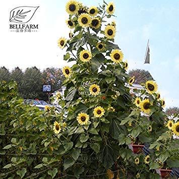 Sonnenblume 20 Samen (Pinkdose2018 Heißer Verkauf Zitrone KÃnigin Sonnenblume Helianthus annuus 20 Samen)