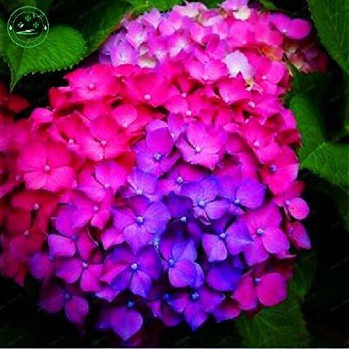 Gemischte Hortensien Samen Hausgartenpflanzen Bonsai Samen Viburnum Hydrangea Samen 30 Stück H63 - Hydrangea-bilder Lila