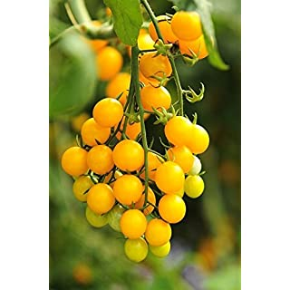 Tomato Aztek seeds - Lycopersicon lycopersicum -