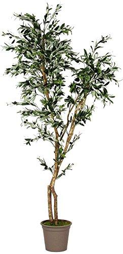 Olivenbaum mit Früchten–Stamm es