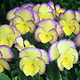 Pack x6 Viola Cornuta 'Etain' Perennial Alpine Plug Plants