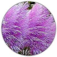 Erba delle Pampas lilla (Cortaderia selloana) / erba ornamentale / 50 semi / infiorescenza dal colore vivace viola/rosa
