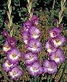 """Gladiolus - Gladiole """" Valencia """" (5) von Mosselman auf Du und dein Garten"""