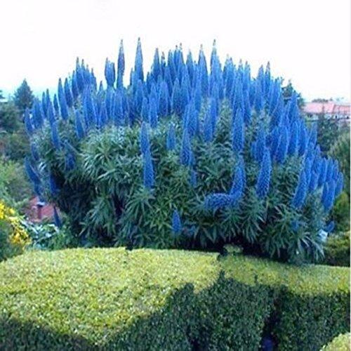 Delaman Pampasras Blumesamen Cortaderia Selloana Mischung Bonsai Saatgut im Garten Topfpflanzen Balkon Pflanzengeschenk 1000 Stücke (Color : Blue)