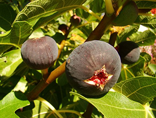 40-50cm-tall-fig-plant-ficus-carica-babits-red-brown-fruited-variety-very-cold-tolerant-architectura