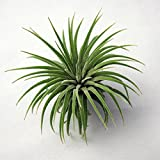 #5: Tillandsia Ionantha Air Plant with free terracotta air plant holder, Air Plant Decor, Live Plant