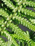 Palmenmann Farn (Spreuschuppiger Wurmfarn) - Dryopteris affinis