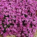 Blaukissen Cascade Purpur - Aubrieta cultorum von Baumschule auf Du und dein Garten