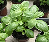 #1: Go Green Sweet Genovese Basil Organic Seeds (Pack of 100 seeds)