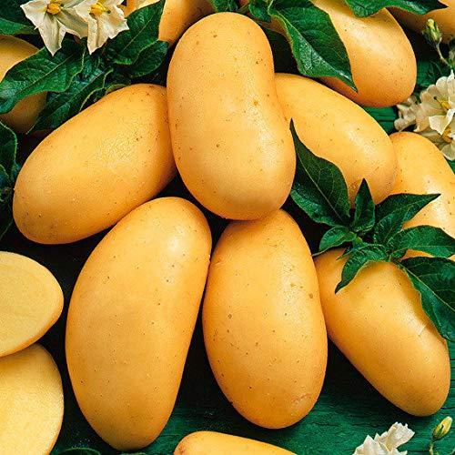 Qulista Samenhaus - 50pcs Kartoffel Linda Bio schmackhaft ertragreich Gemüse Samen Saatgut winterhart mehrjährig