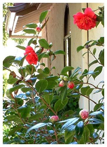 TROPICA - Camelia giapponese/rossa (Camelia japonica) - 8 Semi- Magic tropical