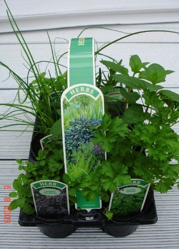 6-pack-of-9cm-mixed-herbs-plants-parsley-sage-rosemary-thyme-oregano-and-mint-6-varieties-per-pack