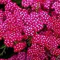Schafgarbe Achillea millefolium Kirschkönigin von VDG-Stauden - Du und dein Garten