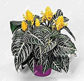 Potseed Keimfutter: 100 Stück Aphelandra Squarrosa Samen Schöne Office Schreibtische Blume