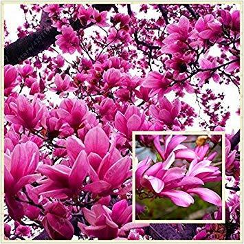 Magnolia Tree (Virtue Genie Dark Red Yulan Magnolia Tree Flower Seeds, Professional Pack, 15 Seeds, Light Fragrant Garden Tree)