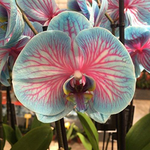 orquidea-planta-natural-orquidea-azul-phalaenopsis-maceta-12cm-altura-aprox-60cm-envios-solo-a-penin
