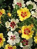 Rose Cream Babylon - Kräftig entwickelte Pflanze im 6lt-Topf