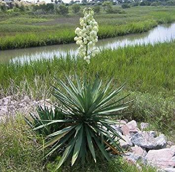 PLAT FIRM Freh OAP Yucca Glauca CACTU - 50 Samen - ucculent - - Craft - Blume