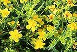 Kanadisches Johanniskraut, Dünen-Johanniskraut 'Gemo' - starke Pflanze im grossen 5lt Topf (2er-Set)